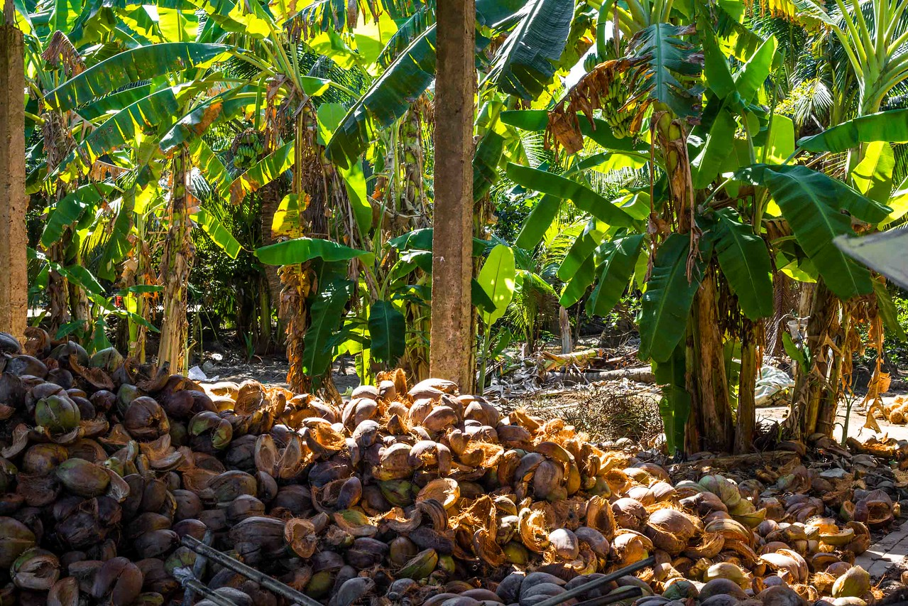 Mekong Delta coconuts