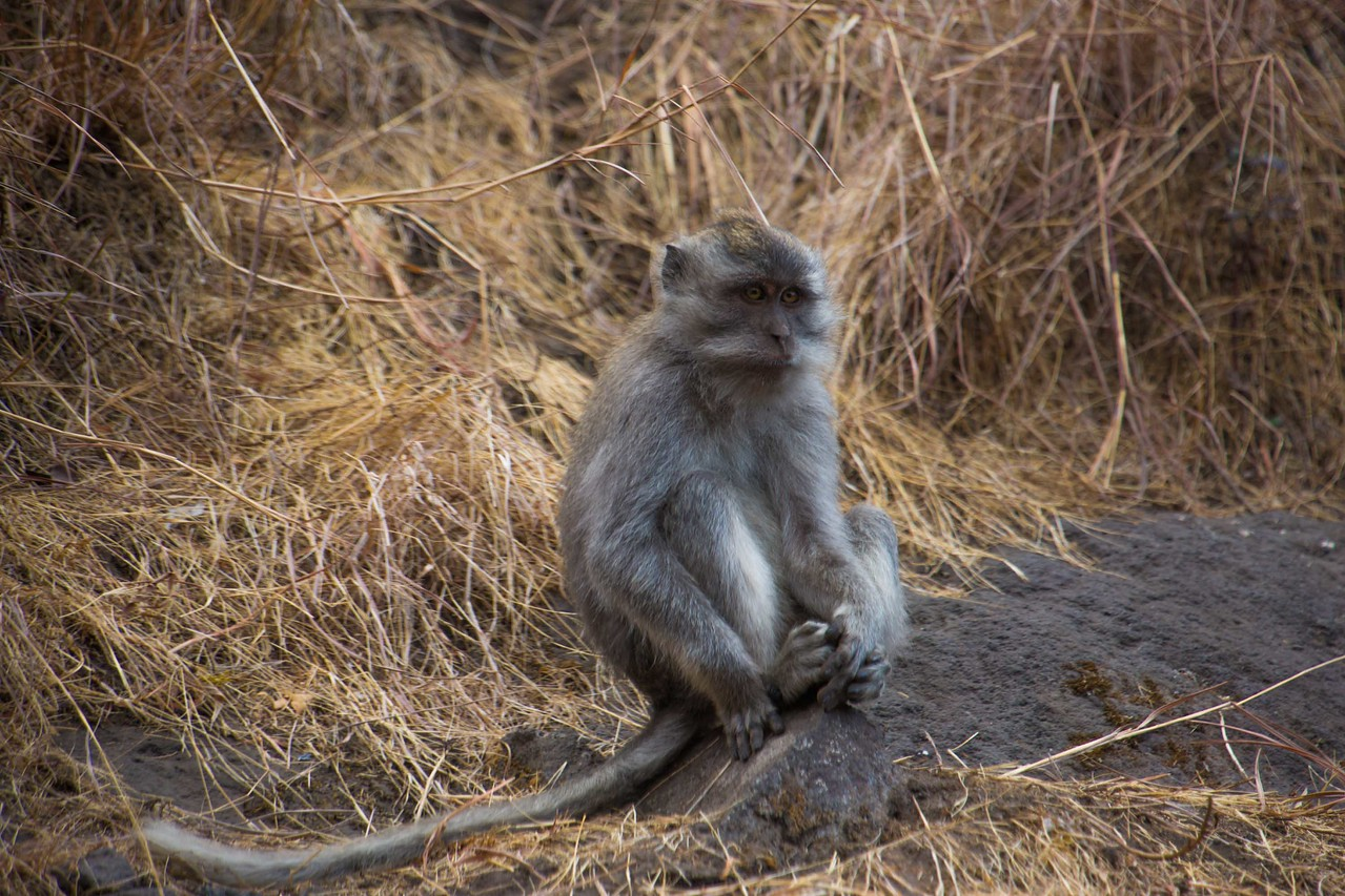 Monkey on Mount Rinjani trek
